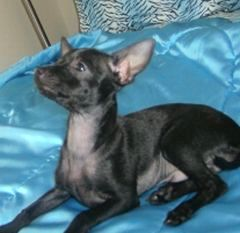 Boo the black Chihuahua is laying on a shiny blue blanket and looking up to the top left