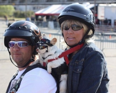 Blondie the Chihuahua is in a harness in between a man and a woman who are on a motorcycle. Everyone is wearing a helmet and sunglasses