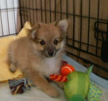 A small fuzzy tan with white Pomchi puppy is laying on a blanket in a crate and there are a couple of toys in front of it.