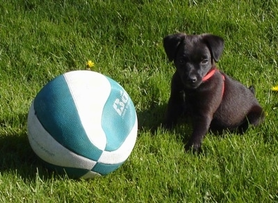 The front left side of a black Patterdale Terrier Puppy that is sitting in grass next to a flat basketball