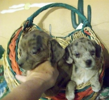 Two Doxie-Chin puppies are sitting in a wicker basket