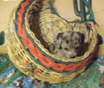 A Doxie-Chin puppy is laying in a wicker basket