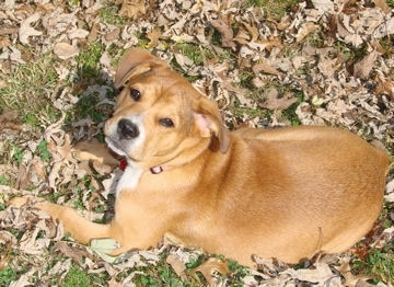 Candie the fawn and white English Bullweiler puppy is laying in a field of leaves and looking up