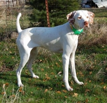 A white with red Pointer is standing in grass and looking to the right. It is wearing a collar that has a green buckle.