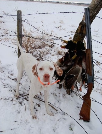 A white with red Pointer dog is wearing a bright orange collar standing in snow and behind it is a barbed wire fence. There is a pile of dead geese laying next to a shotgun next to the dog.