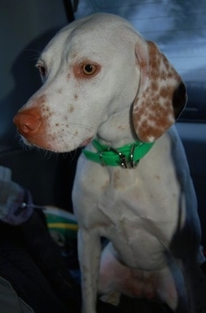 Close up - A white with red Pointer dog is wearing a bright green collar sitting in the backseat of a vehicle and it is looking down and to the left.