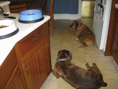 The back of a brown brindle with white Boxer and a brown Boxer that are laying on the kitchen floor