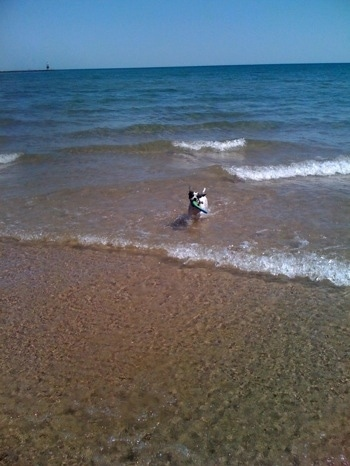 A white with black brindle Frengle dog is running through water towards the shore with waves behind him. There is a dog toy in his mouth