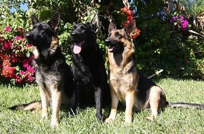 Three German Shepherd dogs lined up in a row out in grass in front of blooming azalea bushes. A black German Shepherd is in the middle of two black and tan dogs