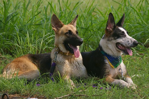 A black and tan German Shepherd is laying next to a black and tan with white Panda Shepherd in front of tall grass. There mouthes are open and tongues are out.