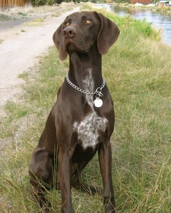 A brown with white German Shorthaired Pointer is sitting in a grass path near a body of water