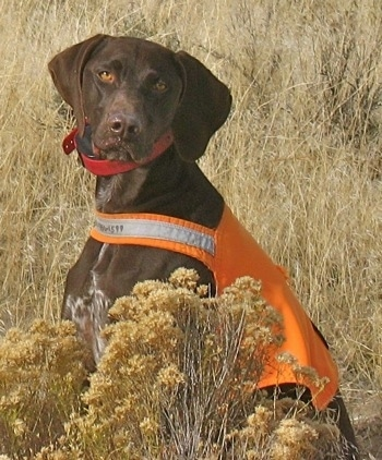 A brown with white German Shorthaired Pointer is wearing an orange life vest. It is sittig in large grass. It is looking to the left