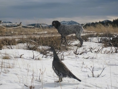 A white with brown ticked German Shorthaired Pointer is out in an open field of snow with grass sticking out. It is looking over at a bird that is standing in the snow.