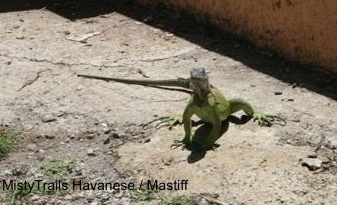 A green Iguana is standing on a concrete surface looking up and forward.