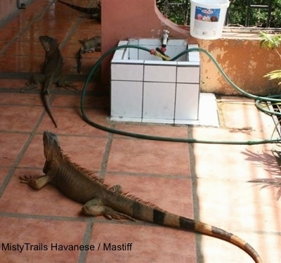 Four Iguanas are walking up a brick red tiled floor.