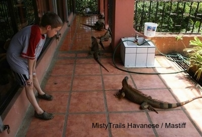 A boy is looking down at one of the iguanas in front of it outside on a brick red floor.