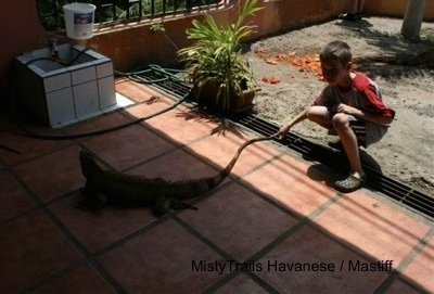 A boy is standing on a porch and it is touching the tail of an Iguana