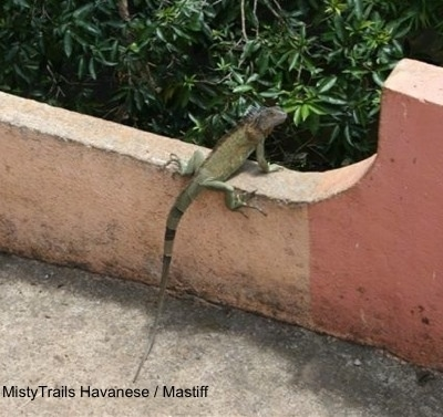 A green Iguana is standing on a concrete railing looking to the right.