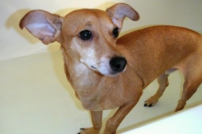 A tan Italian Doxie is standing in an empty white tub looking to the right. The dog is not wearing a collar.