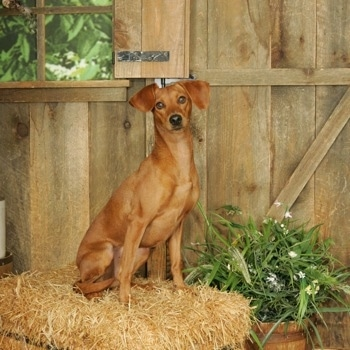 A red Italian Doxie is sitting on a hay bale in front of a wooden wall.
