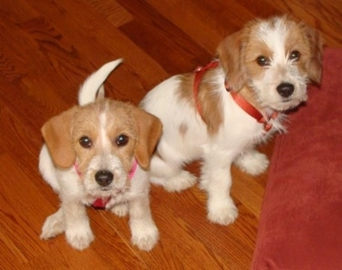 Two tan and white Jack-A-Bee puppies are sitting on a hardwood floor in front of a red pillow