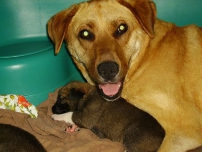 Upper body shot of a Golden Labrador mix laying behind a small, sleeping, Golden Labrador/German Shepherd mix puppy. The larger dog is looking up with its mouth open looking like it is smiling.