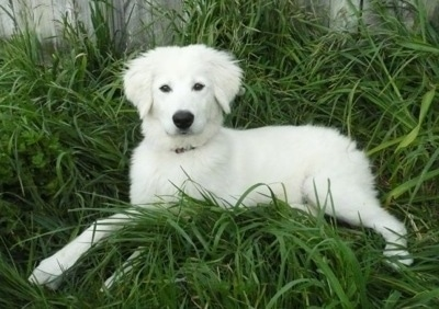 A fuzzy white Maremma Sheepdog puppy is laying in relatively tall grass and there is a wooden fence behind it.