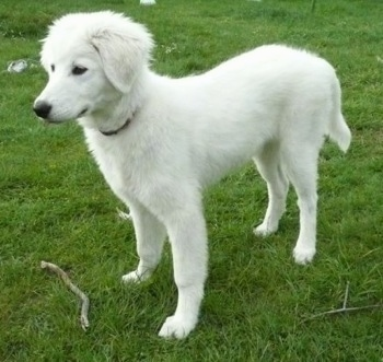 Side view - A white Maremma Sheepdog puppy is standing in grass and there is a stick in front of it.