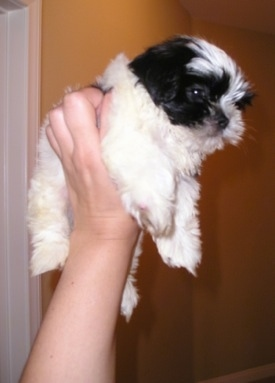 A black and white Mi-Ki puppy is being held in the air by a persons hand in front of a gold wall inside of a home.