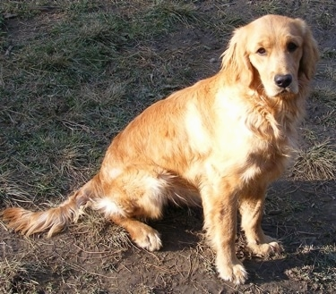 A Miniature Golden Retriever is sitting in dirt and mud and looking forward.