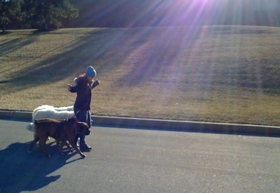 A girl in a blue hat is taking four dogs on a pack walk down a street. The dogs are tied to her hip and she has her hands up in the air showing that she is not holding the leashes. The sun is shining down with rays of purple light over their heads.