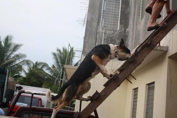 A black with white and tan Panda Shepherd is climbing up a wooden ladder that is leaning against a yellow building being led by the person in front of it.