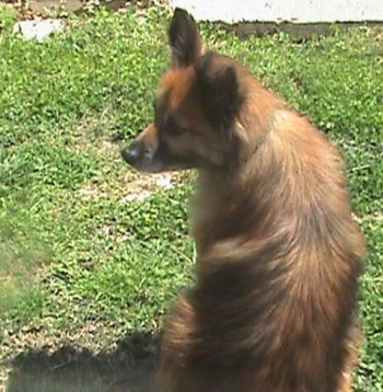 The back of a brown with black Pomeranian that is sitting in grass and looking to the left.