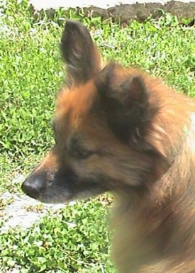 Close up head shot - The back of a brown with black Pomeranian that is looking to the left and sitting in grass.