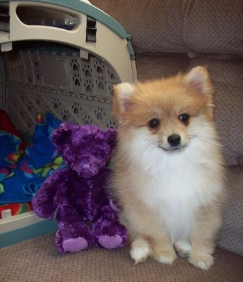 Front view - A tan with white Pomimo puppy is sitting on a couch next to a purple plush bear doll and an open carrying crate.