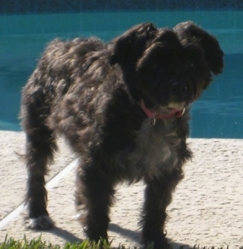 Front side view - A wavy-coated, black with white Poolky dog is standing on a walkway next to a swimming pool looking forward.