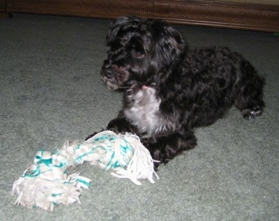 Front side view - A wavy-coated, black with white Poolky dog is laying on a light green carpet looking to the left. There is a white with green rope toy laying at its front paws.