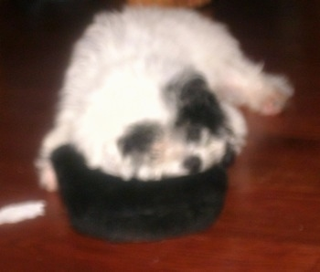 Close up - A blurry image of a white with black Poolky sleeping on a black pillow.