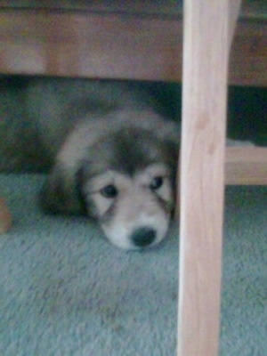 Front view - A small black with tan and white Pyrador puppy is laying down under a wooden bed frame with its head peeking out.