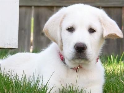 Front side view - A white with tan Pyrador puppy is wearing a red collar laying in grass looking forward. There is a wooden privacy fence behind it.
