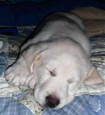 Close up front view - A white with tan Pyrador puppy is sleeping on its right side on top of a human's bed that is covered in a light blue and white quilt.