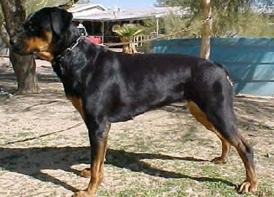 The left side of a black and tan Roman Rottweiler that is standing on patchy grass and it is looking to the left.