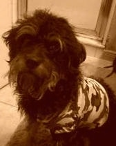 A sepia toned image of a wiry looking black Rottle dog that is wearing a camo shirt. It is looking forward.