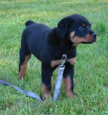 Front side view - A small black with brown Rottweiler puppy is standing in grass on top of its blue leash looking to the right.