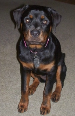 Front view - a black with brown Rottweiler puppy is sitting on a carpet and it is looking forward.