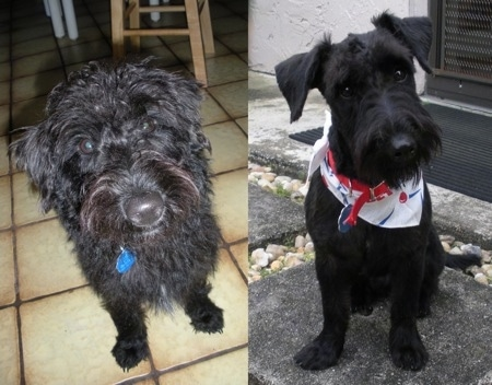 Left Photo - Close up - A wavy coated, shaggy looking black Scoddle is sitting on a tiled floor and it is looking forward. Right Photo - Close up - A groomed short black Scoodel is sitting on a stone step. It has its head tilted to the left, it is wearing a white bandana and it is looking forward. It has longer hair on its snout making it look like it has a beard.