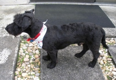 Left Profile - A short-legged, low to the ground black Scoodle dog is standing across a stone step wearing a white bandana looking to the left. The dog's front legs are shorter than its back legs.