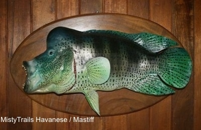 An ugly fish with a large lump above its head is hanging on a plaque on a wall. It is placed to the left. Its mouth is open.