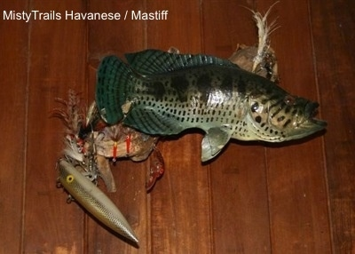 A fish is hanging on a wall, it is facing the right. Behind and hanging down under it is a lot of lures attached to it.