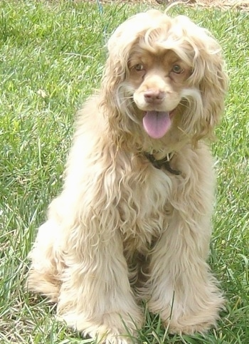 A thick, wavy, soft looking tan Silky Cocker sitting in grass looking to the left with its mouth open and its tongue sticking out and it looks like it is smiling. The dog has golden yellow eyes and longer hair on its body with shorter hair on its face.